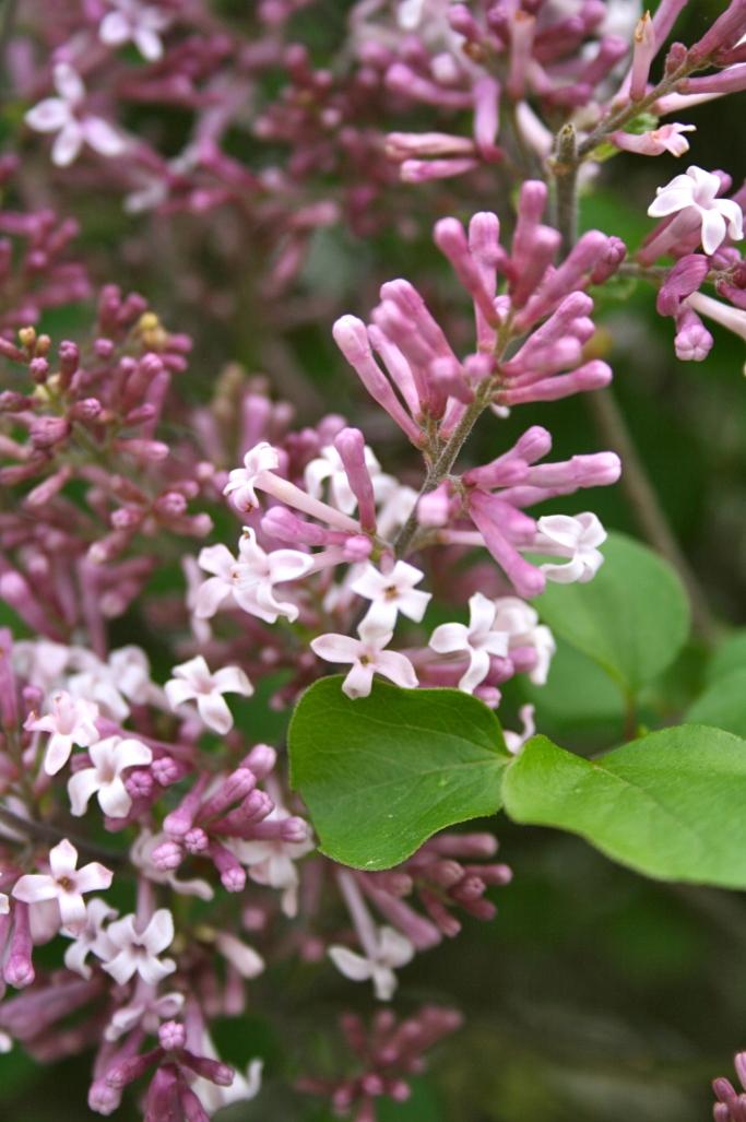 Dwarf Lilac Blooms | ahealthylifeforme.com