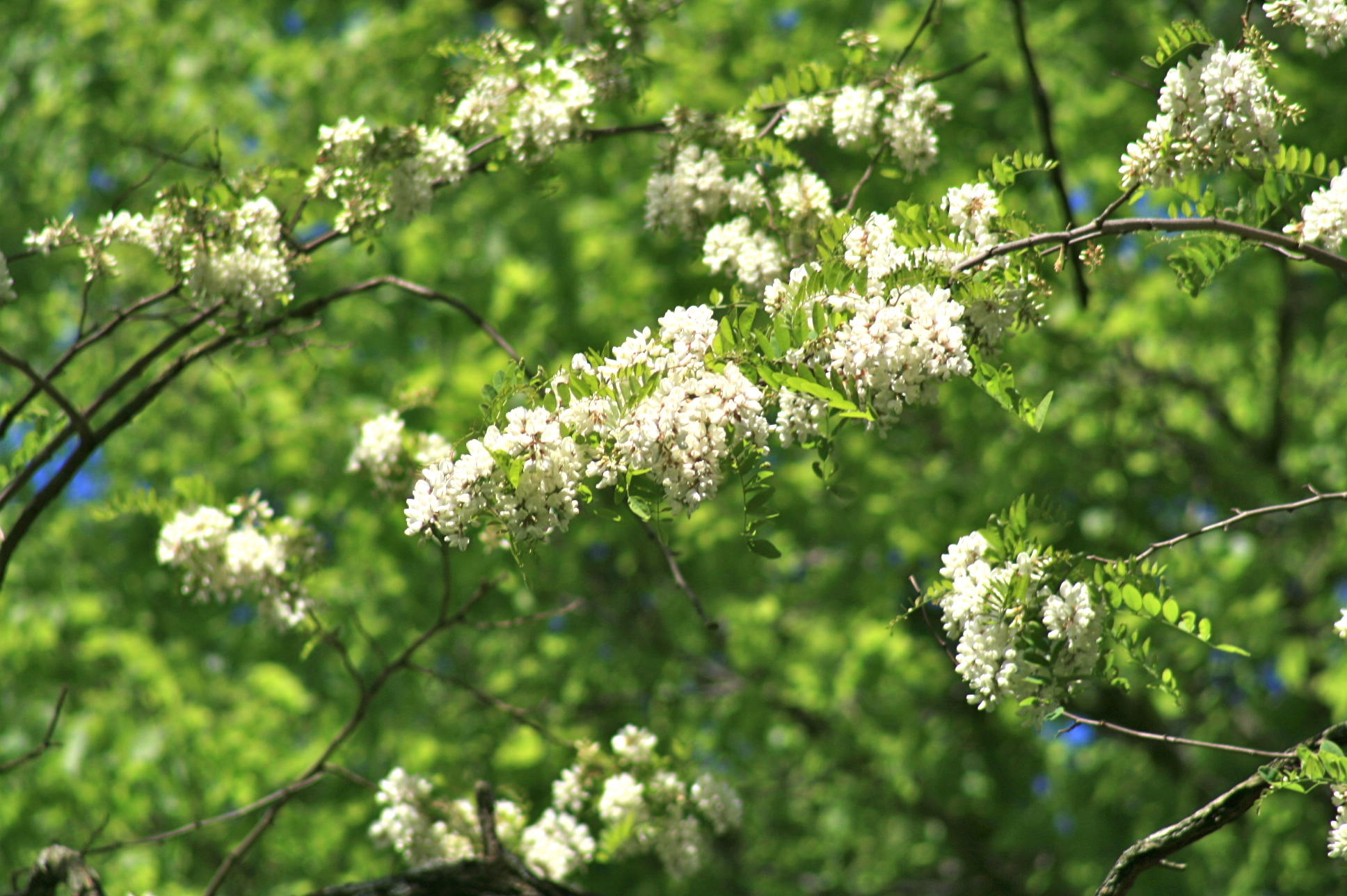 Black Locust Tree A Healthy Life For Me