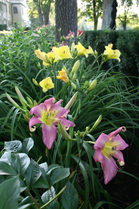 Special Day lily