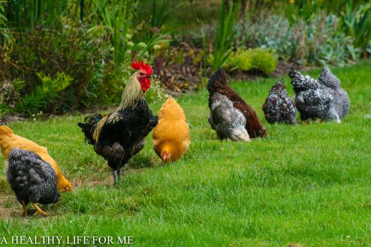 Chicken Facts: A Roosters Crow - A Healthy Life For Me